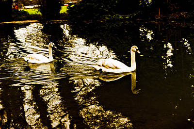 Swans On River Wey Poster