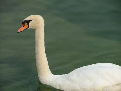 Swan's Portrait Poster by Rita Fetisov