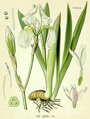 Sweet Iris  Poster by German School