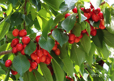Sweet Red Cherries Poster by Carol Groenen