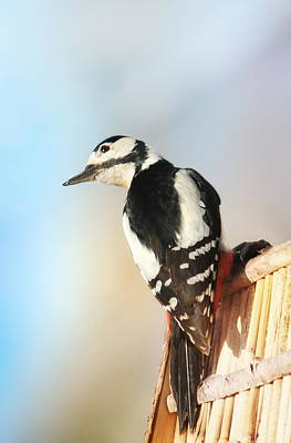 Sweet Woodpecker Poster by Heike Hultsch