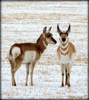 Sweetwater Pronghorn Poster