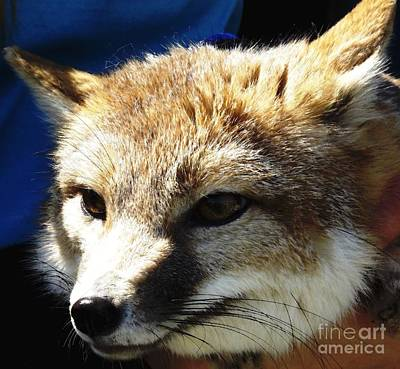Swift Fox With Oil Painting Effect Poster by Rose Santuci-Sofranko