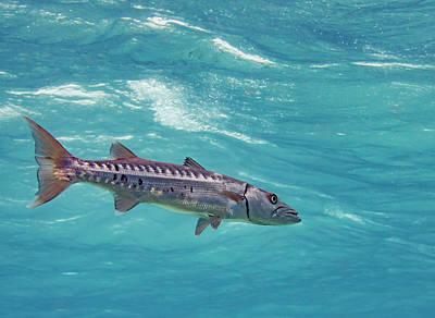Swimming Barracuda Poster