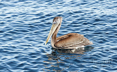 Swimming Brown Pelican Poster