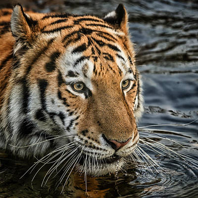 Poster featuring the photograph Swimming Tiger by Chris Boulton