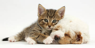 Tabby Kitten And Cockapoo Puppy Poster