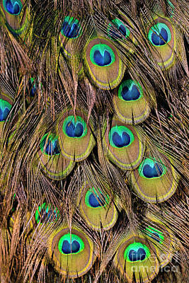Tail Feathers Of Peacock Poster