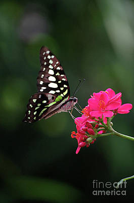 Tailed Jay Butterfly -graphium Agamemnon- On Pink Flower Poster