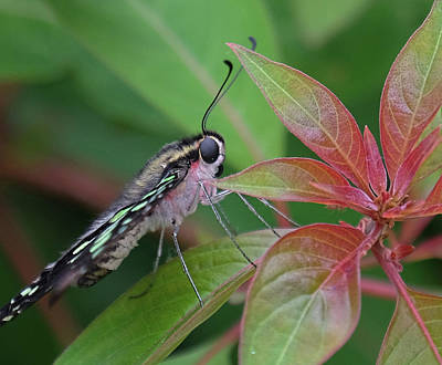 Tailed Jay Butterfly Macro Shot Poster