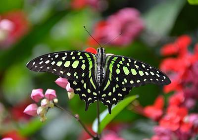 Tailed Jay4 Poster by Ronda Ryan