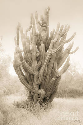 Tall Cactus In Sepia Poster