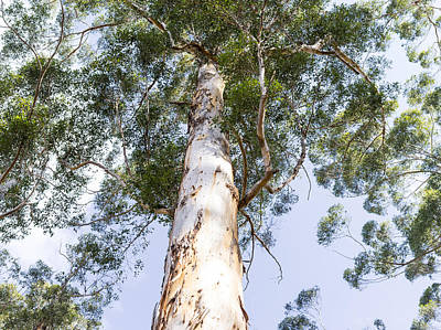Tall Karri Tree Poster by Niel Morley