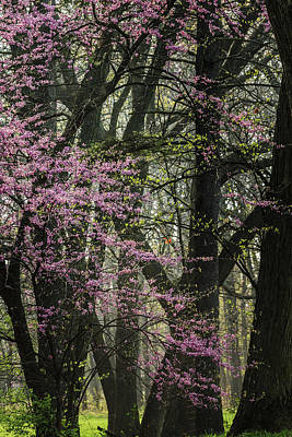 Tall Red Buds In Spring Poster by Joni Eskridge