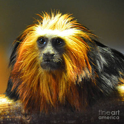 Tamarin Poster by Paul Davenport