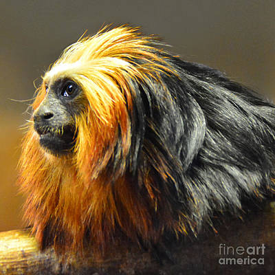 Tamarin Profile Poster by Paul Davenport