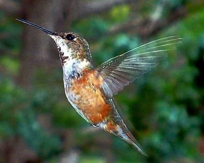 Poster featuring the photograph Tan Hummingbird by Joseph Frank Baraba