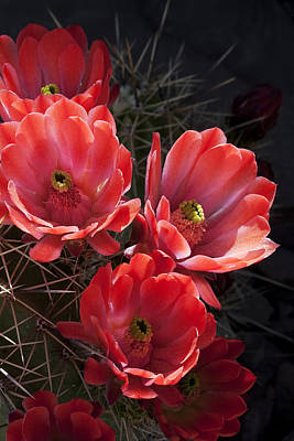 Poster featuring the photograph Tangerine Cactus Flower by Phyllis Denton