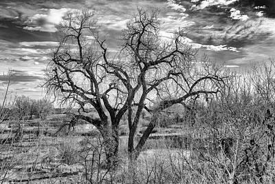 Tangled Old Tree On Platte River Poster