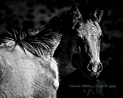 Taos Pony In B-w Poster