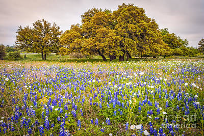 Tapestry Of Wildflowers At Willow City Loop - Texas Hill Country Poster