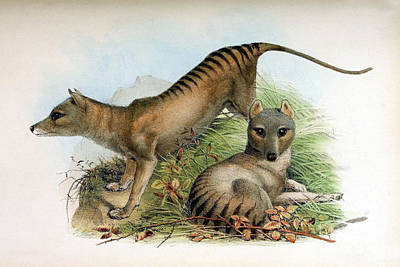 Tasmanian Tiger, Extinct Species Poster by Biodiversity Heritage Library