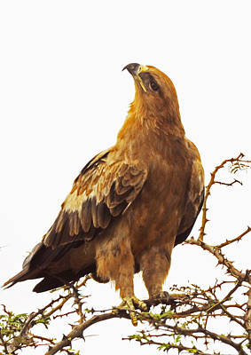 Tawny Eagle Poster