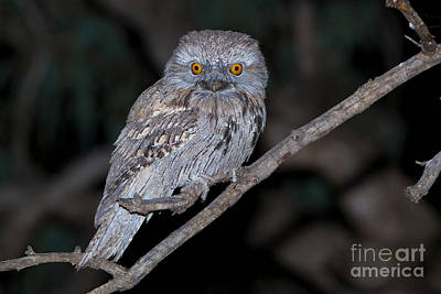 Tawny Frogmouth Poster by B.G. Thomson
