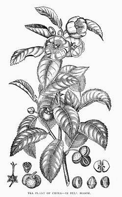 Tea Plant, 19th Century Poster