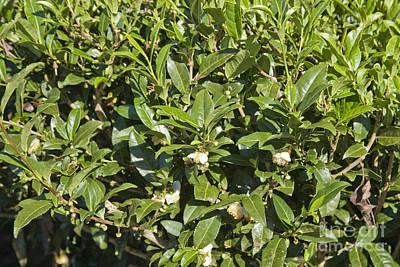 Tea Plants Poster