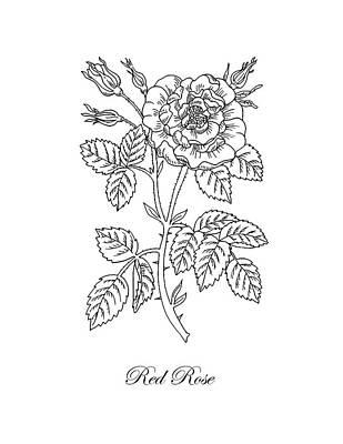 Tea Rose Botanical Drawing Black And White Poster