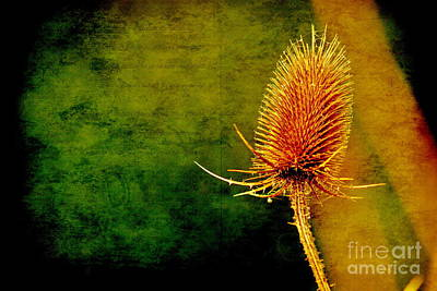 Poster featuring the photograph Teasel Head by Dariusz Gudowicz