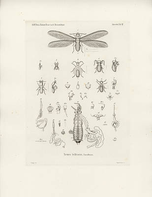 Termites, Macrotermes Bellicosus Poster