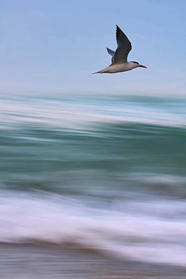 Poster featuring the photograph Tern Flight Vert by Laura Fasulo