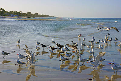 Terns And Seagulls On The Beach In Naples, Fl Poster