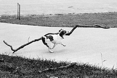 Terrier Running With A Very Big Stick Poster