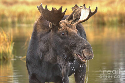 Dripping Moose Closeup Poster by Adam Jewell