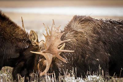 Teton Moose Poster