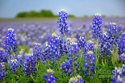 Texas Blue - Texas Bluebonnet Wildflowers Landscape Flowers  Poster by Jon Holiday