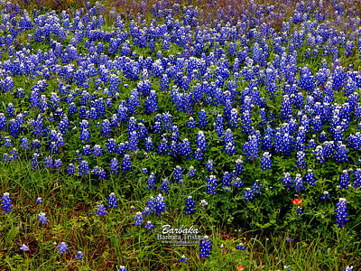 Poster featuring the photograph Texas Bluebonnets #0484 by Barbara Tristan