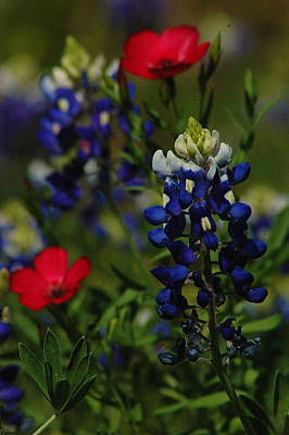 Texas Blue Bonnett Poster by Lori Mellen-Pagliaro
