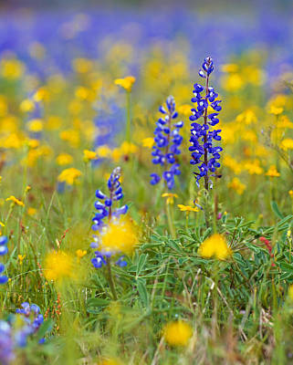 Texas Bluebonnet Flowers In Bloom Among Poster