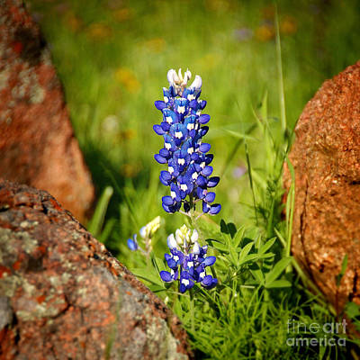Texas Bluebonnet Poster by Jon Holiday