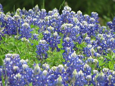 Texas Bluebonnets Austin Texas Poster