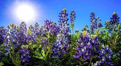 Texas Bluebonnets Backlit II Poster
