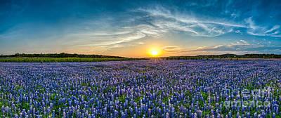 Texas Bluebonnets Sunset Pano Poster