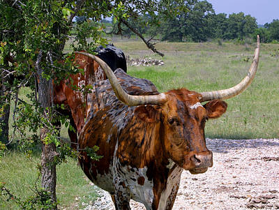 Texas Longhorn Close Up Poster by Linda Phelps