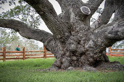 Texas State Champion Live Oak Poster
