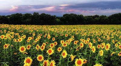 Texas Sunflowers Poster