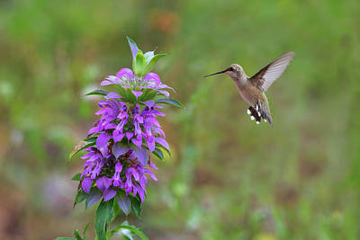 Texas Wildflowers - Horsemint And Hummingbirds Poster